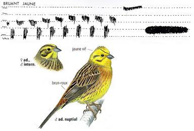 Conna tre les chants d 39 oiseaux - Chant fauvette des jardins ...